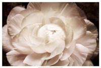 Elegant Ranunculus I Fine-Art Print