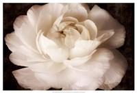 Elegant Ranunculus II Fine-Art Print