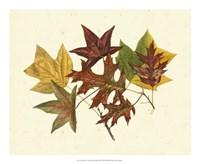 Tulip Tree, Sweet Gum & Scarlet Oak Fine-Art Print