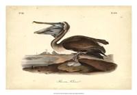 Audubon's Brown Pelican Fine-Art Print
