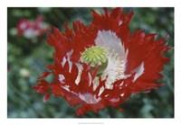 Raglin Red Poppy Fine-Art Print