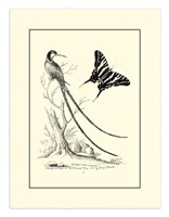 B&W Long. Tailed Hummingbird (1742) Fine-Art Print