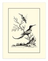B&W Grt. & Less. Hummingbird (1742) Fine-Art Print