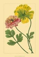Ranunculus I Fine-Art Print