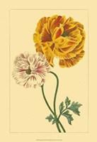 Ranunculus II Fine-Art Print