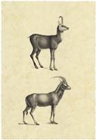 Vintage Antelope Fine-Art Print