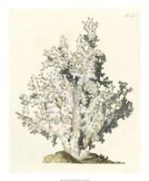 Antique Coral I Fine-Art Print