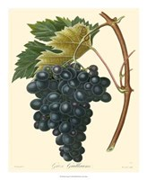Grapes II Fine-Art Print