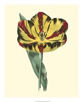 Antique Tulip I Fine-Art Print