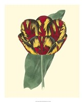 Antique Tulip III Fine-Art Print