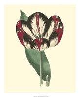 Antique Tulip IV Fine-Art Print