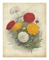 Ranunculus Florilegium I Fine-Art Print