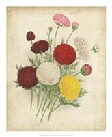 Ranunculus Florilegium II Fine-Art Print