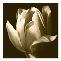 Sepia Tulip II Fine-Art Print