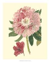 Pink Rhododendron Fine-Art Print
