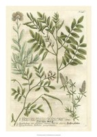 Weinmann's Garden II Fine-Art Print