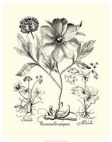 Black and White Besler Peony II Fine-Art Print