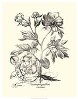 Black and White Besler Peony III Fine-Art Print