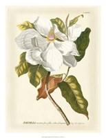 Magnificent Magnolias I Fine-Art Print
