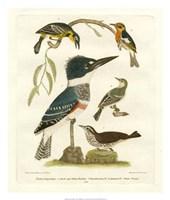 Antique Kingfisher I Fine-Art Print