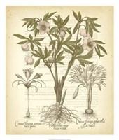 Tinted Besler Botanical I Fine-Art Print