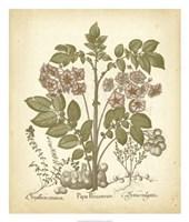Tinted Besler Botanical III Fine-Art Print