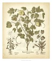 Tinted Besler Botanical IV Fine-Art Print