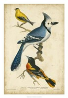 Wilson's Blue Jay Fine-Art Print