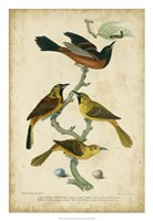 Wilson's Orchard Oriole Fine-Art Print