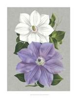 Clematis Blooms I Fine-Art Print