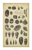 Study of Shells II Fine-Art Print