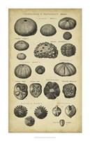 Study of Shells III Fine-Art Print