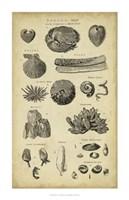 Study of Shells IV Fine-Art Print