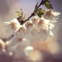 Soft bloom II Fine-Art Print