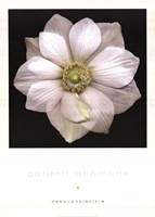 Garden Anemone Fine-Art Print