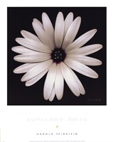 Sunscape Daisy Fine-Art Print