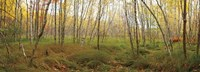 Birch Forest Panorama Fine-Art Print