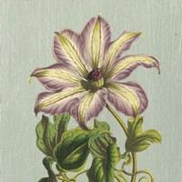 Purple Clematis Fine-Art Print