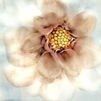 Soft Dahlia Fine-Art Print