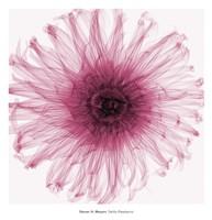 Dahlia (Raspberry) Fine-Art Print