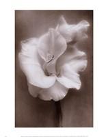 Gladiolus White Fine-Art Print