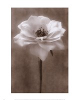 Antique Rose White Fine-Art Print