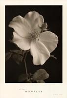 Rose Bud Fine-Art Print