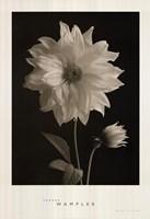 Dahlia Bud Fine-Art Print