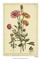 Ranunculus, Pl. CCXVI Fine-Art Print