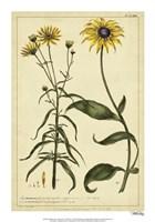 Rudbeckia and Coreopsis, Pl. CCXXIV Fine-Art Print