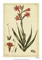 Watsonia, Pl. CCLXXVI Fine-Art Print