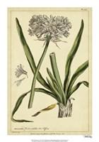 Polianthes, Pl. CCX Fine-Art Print