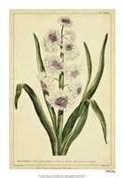Hyacinthus, Pl. CXLVIII Fine-Art Print