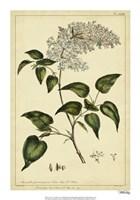 Lilac, Pl. CLXIII Fine-Art Print